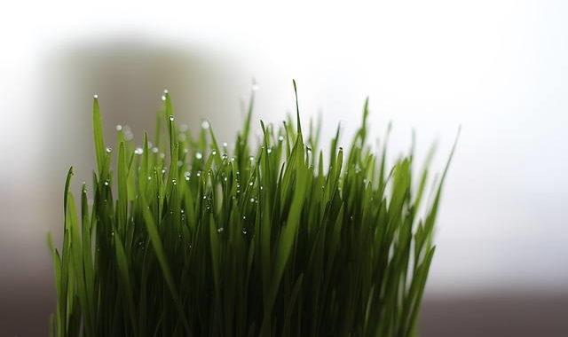 Weizengrassaft: Vorteile und Herstellung zu Hause