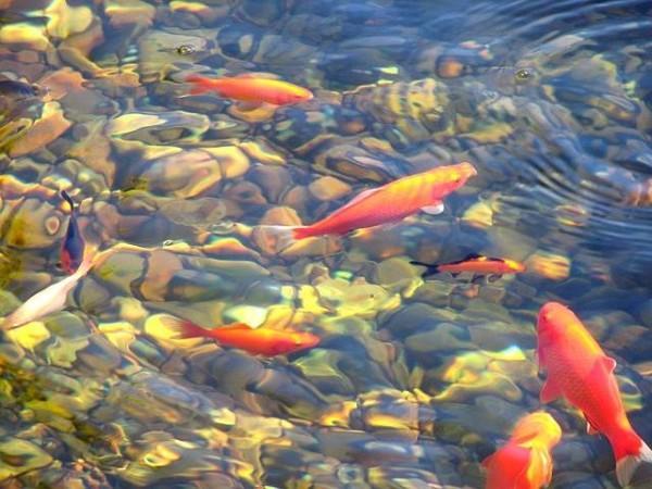 Gartenteich reinigen Fisch entfernen